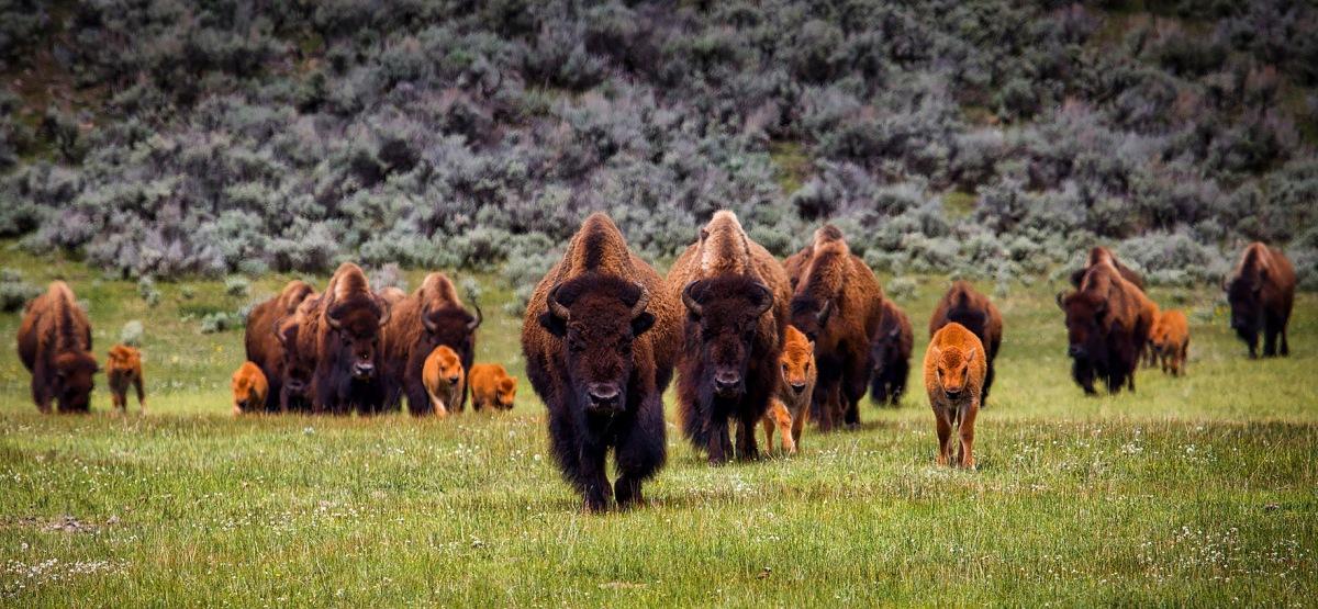 La pastorale e la caccia aibisonti